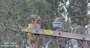 Hawk on the line