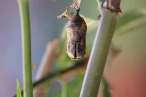 Dried up chrysalis :-(